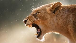 muzzle, grin, eyes, ears, fangs, predator, beauty