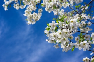 spring, tree, branches, nature, flowers, cherry, leaves, the sky, spring, tree, branches, nature, flowers, cherries, leaves, sky