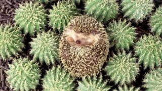 Hedgehog, kaktusy, needles
