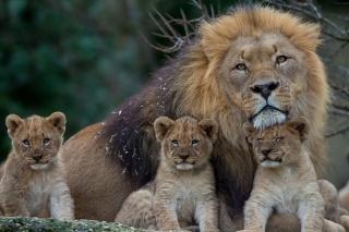 леви, прайд, львята, родина, хижаки