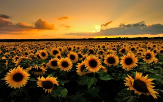 nature, summer, field, sunflower, horizon, the sky, sunset, clouds, light, the sun