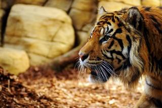 тигр, Тигр, кішка, хижак, макро, фото, каміння, листя