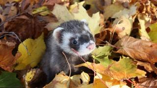 тхір, морда, очі, вуха, ніс, листя, осінь, прикольно, краса