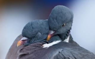 ПАРА, Любов, птахи, весна, голуби