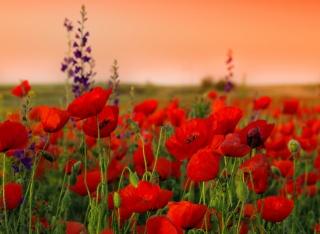flowers, field, nature, macro, photo, Maki, the sky, sunset
