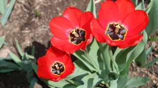 Three, Tulip, red