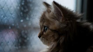 кіт, морда, вуса, вуха, очі, погляд, вікно, краплі, краса