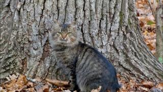 кіт, морда, очі, вуха, вуса, погляд, дерево, листя, осінь, красень, красиво, прикольно