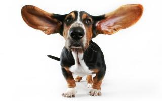 собака, вуха