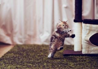 кішка, кошеня, малюк, танець, гра, макро, фото