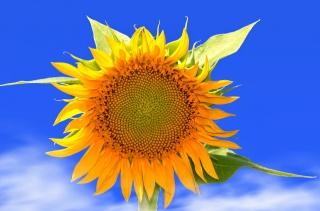 sunflower, the sky, nature, flower, summer