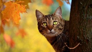 кіт, морда, вуса, очі, вуха, дерево, листя, осінь, краса