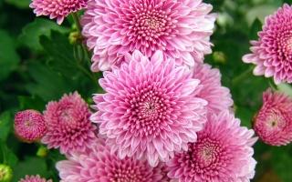 chrysanthemum, flowers