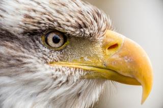 Orel bělohlavý, pták, dravec