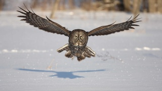 pták, zima, Sova