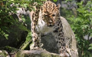 Leopard na kamenech, rostliny, kameny