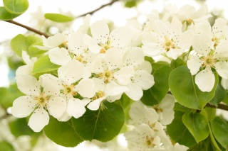 pear, flowers, pear blossoms, spring, flowering, tree