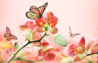 photoshop, butterfly, pink background, flowers, orchids, beautiful, spring