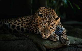 Který sní o tom, leopard, kámen