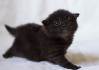 kočka, kočka, kotě, котейка, roztomilý, malý, čokoládový, načechraný, důležitý
