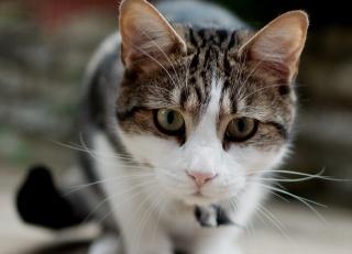 kočka, kočka, čenich, zaměření, vousy