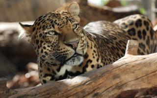 leopard, коряга
