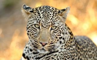 leopard, příjemný pohled, dravec