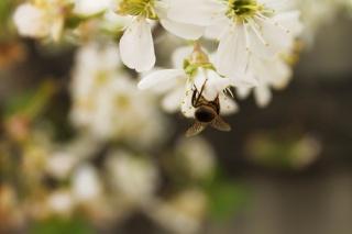 весна, пчелка, цветы