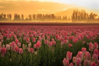 květiny, tulipány, příroda, pole