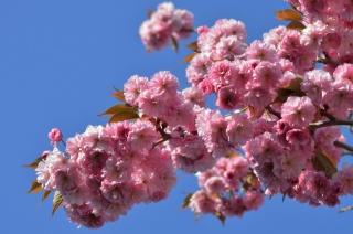 sakura, jaro, větvička, příroda, květiny