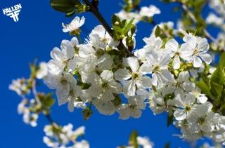 весна, цвітіння, вишня, небо