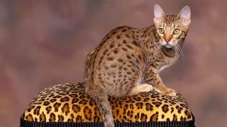 kočka, čenich, oči, vousy, ocas, tlapky, uši, krása, pozadí