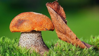 подосиновик, houby