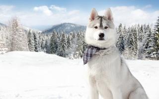 pes, husky