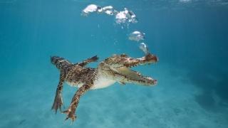 Krokodýl, alligator, voda, bubliny, vzduch, dno, písek