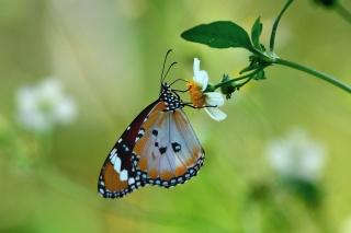 Обои макро, бабочка, цветок, фон.