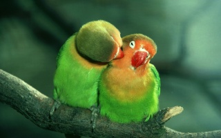 папугай, закохані, турбота