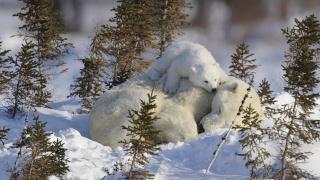білий, ведмідь, Ведмежа, гра, зима