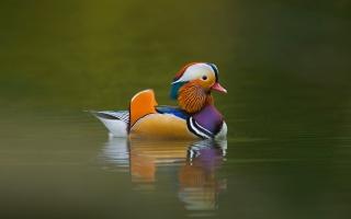 качка, кольорова, озеро