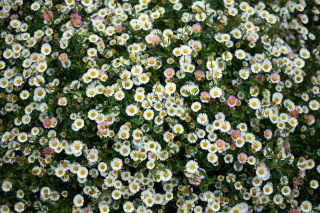 květiny, heřmánek, bílá, zelená