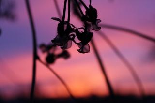 макро, красиво, закат, растение
