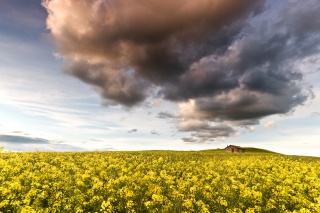 yellow, rape, field, nature, clouds, the sky, flowers, the house