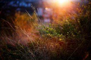 The BUSHES, sunset, greens, macro, grass