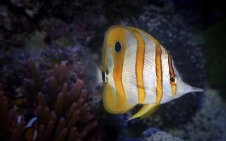 акваріум, рибки, смугасті, темний фон .
