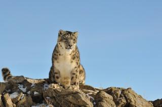 Снежный барс, ірбіс, кішка, каміння, природа