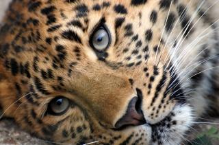 морда, леопарда, животные, леопарды, взгляд, усы