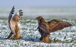 птахи, орли, крила, поле, трава, сніг .