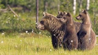 родина, ведмедики
