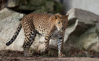Spotted leopard, large stones, branches