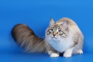 кіт, пухнастий, хвіст, очі, сірі .